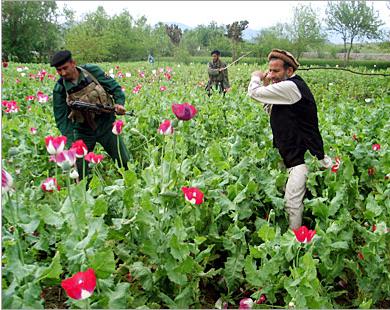 أفغانستان...منبع الهيروين